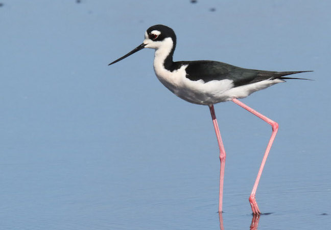 Black Necked Stilt By Mark Wallace