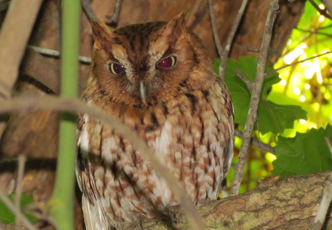 Eastern Screech-Owl By William Haddad