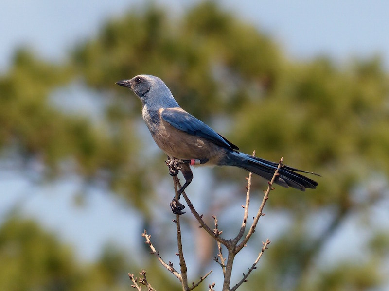 Florida Scrub Jay By Jim Eager
