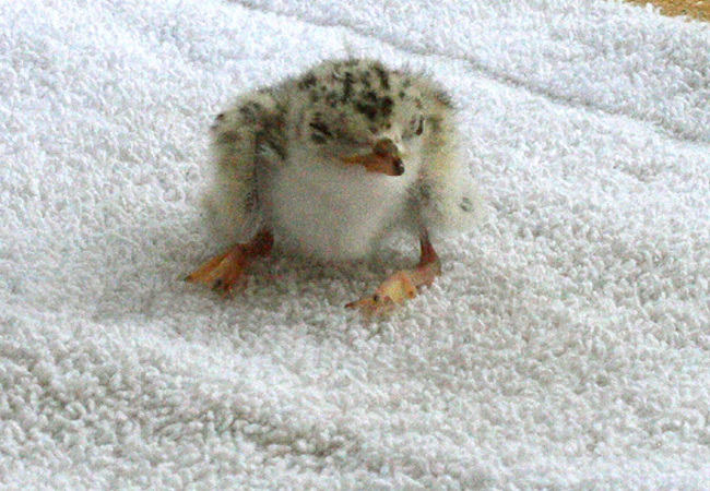 Least Tern Baby By Kim Jarvis