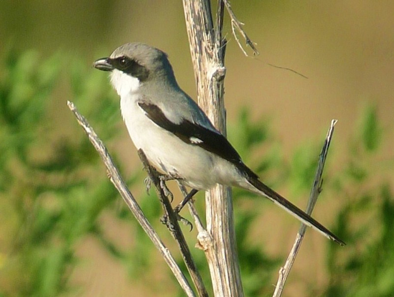 Loggerhead Shrike By Jim Eager