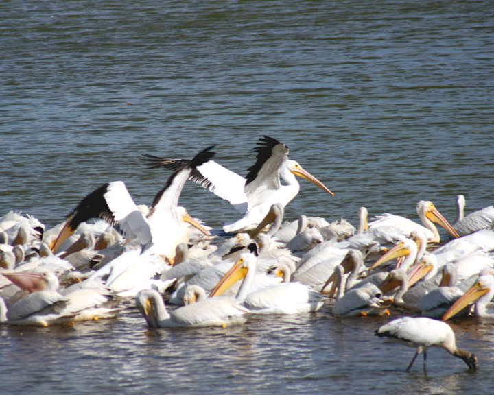 White Pelicans & Wood Stork By Kim Jarvis