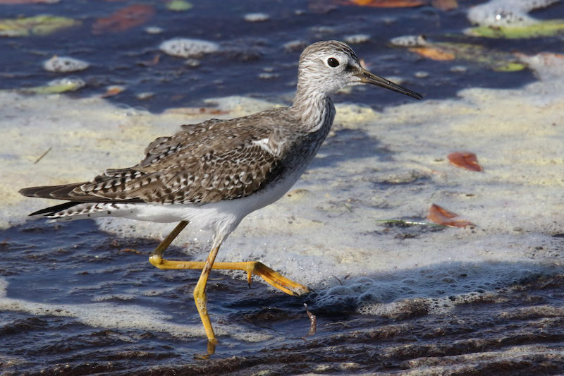 Yellowlegs By Mark Wallace